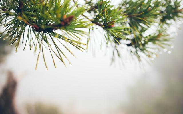 Kiefer (Pinus sylvestris)