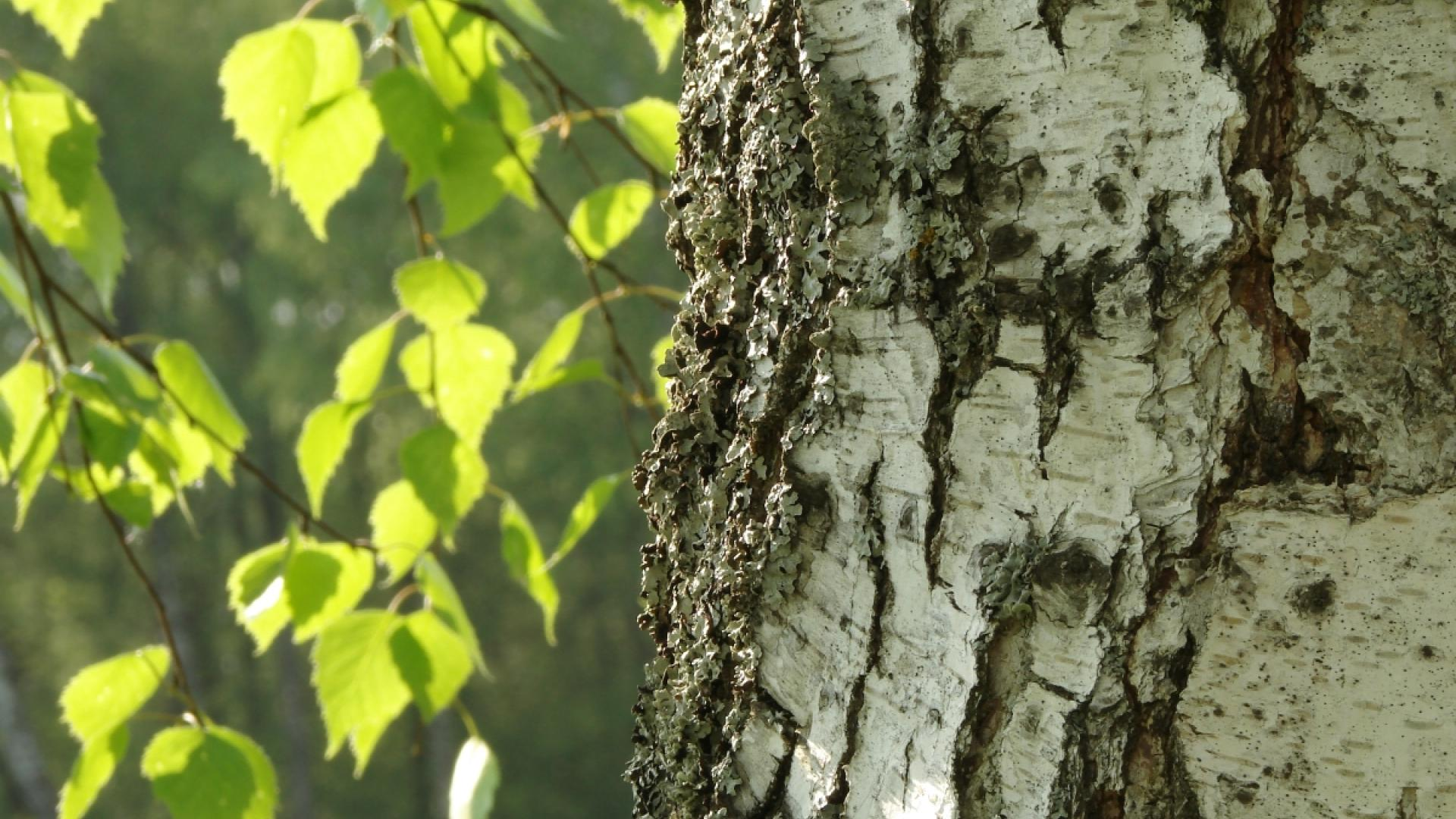 Birch (Betula verrucosa)